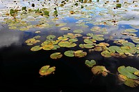 Scotland, Highland, Boat of Garten. Lily pads on Loch Garten in the Cairngorms National Park.
