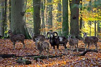 European mouflon Ovis gmelini musimon / Ovis ammon / Ovis orientalis musimon ram with herd in forest in autumn, Germany