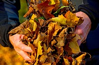England, North Yorkshire, . A man holding a handful of autumn leaves.