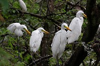 The Cattle Egret Bubulcus ibis locally known as ´go bok´ is a small white heron found near water_bodies, cultivated fields, usually near grazing cattl...