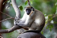 Green Monkey, Chlorocebus sabaeus, sitting on branch, The Gambia