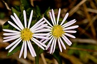 Aster dumosus, Outer banks center for wildlife education, Corolla, Norh Carolina, USA