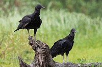 2 Black Vultures Coragyps atratus sitting on stem, Pantanal, Brazil
