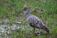 Plumbeous Ibis Theristicus caerulescens standing in swamp, Pantanal, Brazil