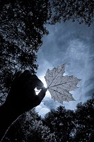 Close_up of a person´s hand holding a maple leaf