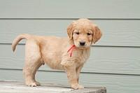 A Golden Retriever puppy, six weeks old