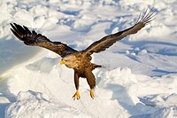 White-tailed Eagle, Nemuro Channel, Hokkaido, Japan