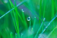 Dew drops glittering on a blades of grass