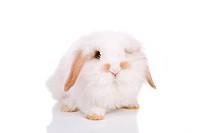 Lopeared bunny