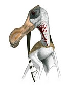 Pterosaur, Ornithocheirus, artwork. Ornithocheirus is a genus of pterosaur that lived during the Cretaceous, 112_108 million years ago. It had a six m...