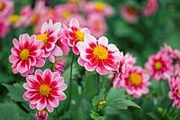 Dahlia ´Amozone´ flowering in Summer.