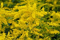 Golden Rod Solidago sp. flowering in Summer.