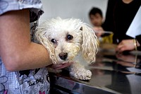 A veterinarian attends a Poodle dog at a Pet Hospital in Condesa, Mexico City, Mexico, February 2, 2011