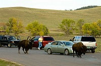 bisonti attraversano la strada, custer state park, black hills, south dakota, usa