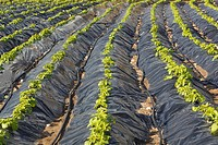 Plasticulture tunnels with growing crops near Torrox, Malaga Province, Spain.