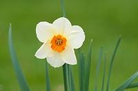 A Tazetta Daffodil Narcissus Tazetta.