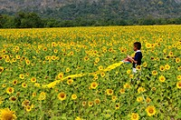young boy with his kite, sunflower field , sunflower fields of lopburi , central thailand