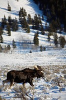 A moose wanders through Moose Junction in Grand Teton National Park, Wyoming.