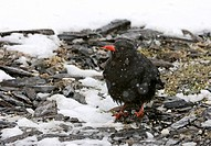 Red_billed Chough Pyrrhocorax pyrrhocorax adult, standing on snow covered ground in snowfall, Caucasus Mountains, Georgia, april