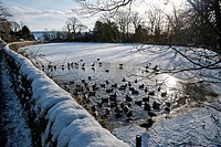 Mallard Duck Anas platyrhynchos flock, swimming on open water of frozen mill pond, Chipping, Lancashire, England, december