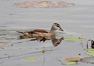 Cotton Pygmy Goose Nettapus coromandelianus juvenile, swimming beside waterlily pads, Sri Lanka, december