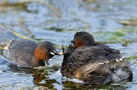 Little Grebe Tachybaptus ruficollis adult pair, with chick riding on back, swimming, Cley, Norfolk, England, august
