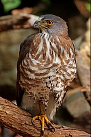 Crested Goshawk Accipiter trivirgatus indicus adult, perched on branch after bathing, Kaeng Krachan N P , Thailand, february