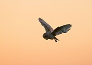 Barn Owl Tyto alba adult, in flight, hunting at dusk, North Norfolk, England, summer