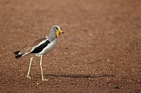 White_headed Lapwing Vanellus albiceps adult, walking on sandy riverbank, Niokolo_Koba, Senegal, january