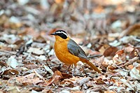 White_browed Robin_chat Cossypha heuglini adult, standing amongst leaf litter, Chobe N P , Botswana