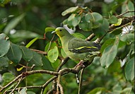 Ceylon Green Pigeon Treron pompadora adult female, perched in tree, Sri Lanka, december