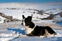 Domestic Dog, Border Collie sheepdog, adult, laying in snow on fell, Cumbria, England, december