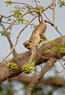 Callithrix Monkey Cercopithecus sabaeus young, with pollen on face, feeding on ceiba tree flowers, Niokolo_Koba, Senegal, february