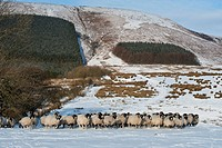 Domestic Sheep, Swaledale ewes, flock walking on snow covered pasture, with forestry plantation blocks on hillside, Fair Oak Fell, Whitewell, Lancashi...