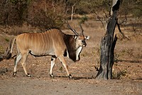 Giant Eland Taurotragus derbianus adult male, walking in dry woodland, Fatalah Reserve, Senegal, january