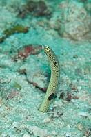 Spotted Garden Eel Heteroconger hassi adult, emerging from burrow, Sipadan Island, Sabah, Borneo, Malaysia