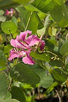Orchid Tree Bauhinia purpurea introduced species, close_up of flower and leaves, St Lucia, Windward Islands, Lesser Antilles