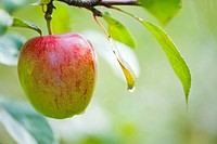 Germany, Deggenhausertal, Branch of apple tree, close up