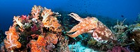 DC Indonesia, Komodo, Digital composite of two images with reef scene and Broadclub Cuttlefish Sepia Latimanus.