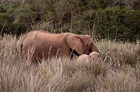 Elephant and cub Loxodonta africana, Kariega Game Reserve, South Africa