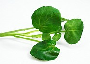 Watercress Salad, nasturtium officinale, Leaves against White Background