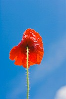 One red poppy against blue sky
