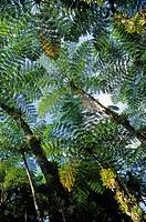 fougeres arborescentes Jardin de Balata Ile de la Martinique Departement et Region d´Outremer francais Archipel des Antilles Caraibes//fern tree Garde...
