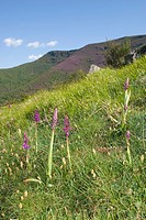 Early purple Orchids Orchis mascula  O Courel, Lugo, Galicia, Spain