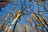 Looking up to the 100-foot canopy in Battle Creek Cypress Swamp, Prince Frederick, Maryland, the northernmost habitat in North America