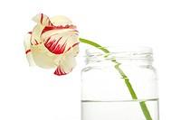 Tulip in the glass jar