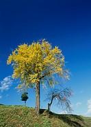 Big Tree on Hill, Iiyama, Nagano, Japan