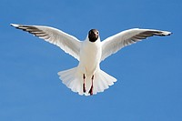 Black-Headed Gull, Larus ridibundus, Wadden Sea National Park, Schleswig-Holstein, Germany