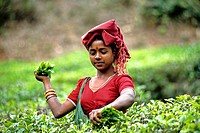 A woman plucking tea leaves