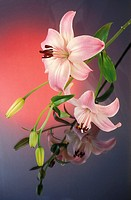 Exotic pink lilly Oriental hybrid on a pink and grey glowing background with reflections